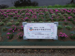 2016芝桜 4.JPG